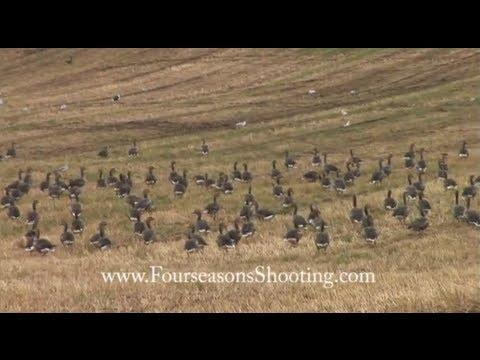 How To Decoy Greylag Geese - Goose Shooting In Scotland With Orkney Goose Shooting Holidays 2014/15