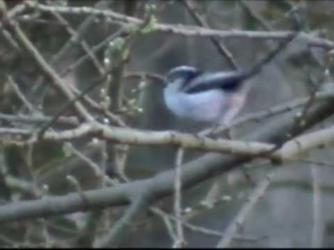 Long-tailed Tit, Moniave, Scotland