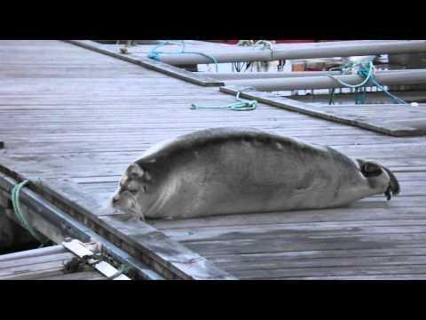 Mid Yell Bearded Seal 7th April 2013 (Shetland)