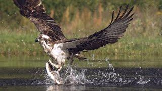 An osprey fishing in spectacular super slow motion | Highlands - Scotland's Wild Heart