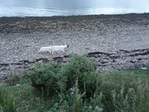 Goats Of Ardgour, Scotland