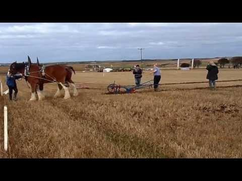 Horses Ploughing At 51st Scottish Ploughing Championships In Caithness