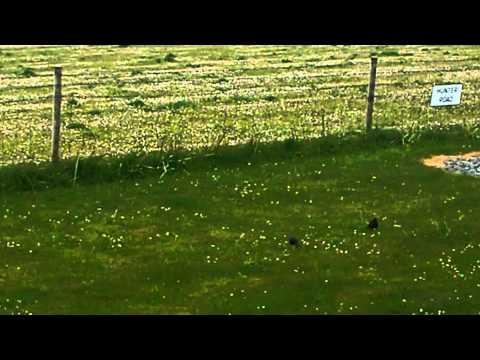 Starlings In Benbecula In The Outer Hebrides