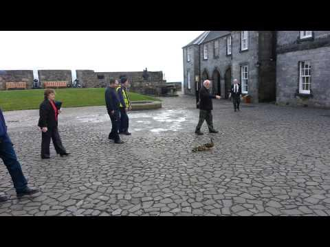 Ducklings At Stirling Castle