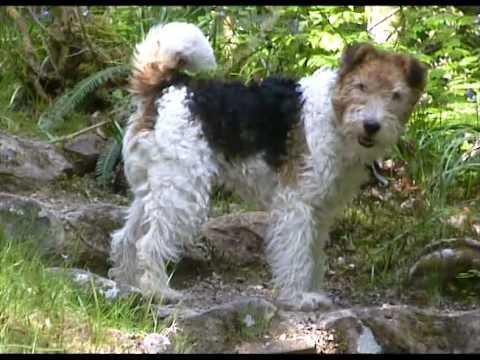 Ben Fox Terrier In Argyll, Scotland 2008 Hi-res