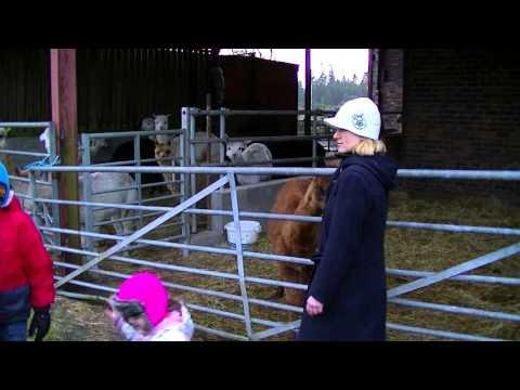 Feeding Alpacas In Balfron