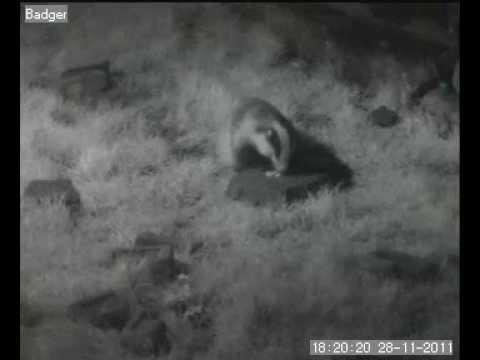 WWT Caerlaverock: Badger From Webcam