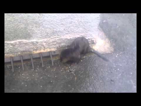Otter At Mid Yell, Shetland